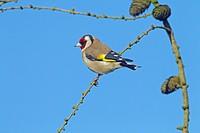 Goldfinch Carduelis carduelis in Winter. Norfolk England UK