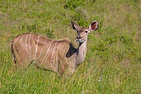 Female Greater kudu (Tragelaphus strepsiceros) feeding. Eastern Cape, South Africa