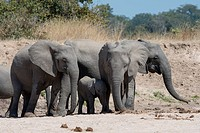 African elephants (Loxodonta africana) with baby digging for water and drinking in a dry riverbed in South Luangwa National Park in eastern Zambia.