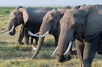 African elephants (Loxodonta africana) feeding on grass in Amboseli National Park in Kenya.