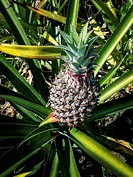 Pineapple in the plant.