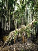 Rain forest in the amazon basin, Huanuco, Peru.