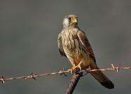 Lesser kestrel - Falco naumanni, Crete