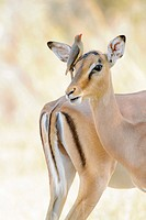 Red-billed oxpecker (Buphagus erythrorhyncus) on impala (Aepyceros melampus), Kruger National Park, South Africa.