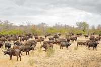 Herd of African buffalo (Syncerus caffer) on a cloudy day, Kruger National Park, South Africa.