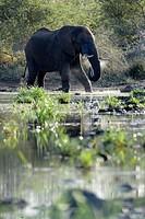 African Elephant (Loxodonta africana) drinking water, backlit, Kruger National Park, South Africa.