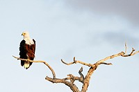 African Fish Eagle (haliaeetus vocifer) sitting on a tree branch, Kruger National Park, South Africa.