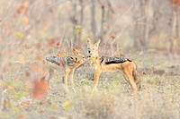 Black-backed Jackal (Canis mesomelas) pair greeting, Kruger Natiopnal Park, South Africa.