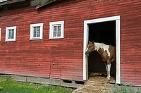 A horse is looking out of a door of a red barn in the town of Palouse in Whitman County in the Palouse near Pullman, Washington State, USA.