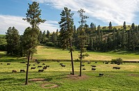 Cattle in the Union Flat Creek valley in Whitman County in the Palouse, Washington State, USA.