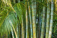 Areca Palm (Dypsis lutescens) also known as bamboo palm, golden cane palm, yellow palm and butterfly palm,.