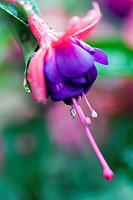 Fuchsia Flower with Water Droplets.