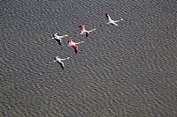 Pink Flamingos (Phoenicopterus ruber), flying over Es Solabrar of Campos in Colonia Sant Jordi, Sese Salines, Mallorca, Balearic Island, Spain. . Thes...