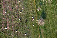 Aerial view of a flock of sheep grazing in the field, Mallorca lands, Balearic Island, Spain.