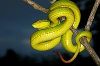 Trimeresurus species. a species of arboreal pit viper. Assam/Arunachal Prades. India.
