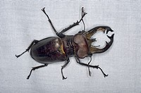 Beetle species from the montane forest.
