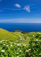 Portugal, Azores, Corvo, Hortensias on the island.