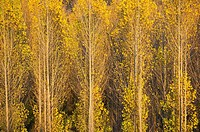 Poplar trees (Populus sp. ) in autumnal colours. Cultivated for timber. Near the town of Guadix. Granada province, Andalusia, Spain.