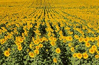 Sunflower (Helianthus annuus) - Cultivations in the Campiña Cordobesa, the fertile rural area south of the town of Cordoba. In June. Cordoba province,...