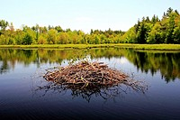a beaver house in a lake.