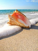 conch shell on Florida USA beach.