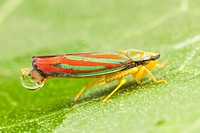 Red-banded Leafhopper (Graphocephala coccinea), Ward Pound Ridge Reservation, Cross River, Westchester County, New York.