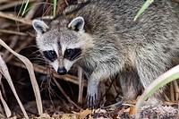 Raccoon - Green Cay Wetlands, Boynton Beach, Florida USA.