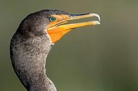 Double-crested Cormorant - Green Cay Wetlands, Boynton Beach, Florida USA.