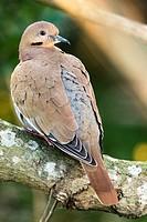 White-winged Dove (Zenaida asiatica) - Green Cay Wetlands, Boynton Beach, Florida, USA.