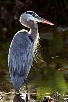 Great Blue Heron (Ardea herodias) - Wakodahatchee Wetlands - Delray Beach, Florida, USA.
