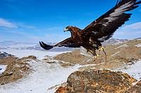 Mongolia, Bayan-Olgii province, Golden Eagle, in Altai mountains.