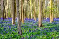 Belgium, Vlaanderen (Flanders), Halle. Bluebell flowers (Hyacinthoides non-scripta) carpet hardwood beech forest in early spring in the Hallerbos fore...