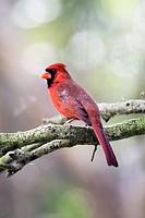 Male Northern Cardinal - Green Cay Wetlands - Boynton Beach, Florida USA.
