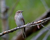 Spotted Flycatcher - Muscicapa striata, Crete