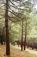 Pine forest in the mountains of Quatretondeta, Alicante, Valencia, Spain