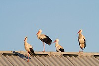 White stork (Ciconia ciconia) group on farm roof near Ivars Lake. Lleida province. Catalonia. Spain.