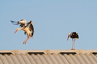 White stork (Ciconia ciconia) two on farm roof near Ivars Lake. Lleida province. Catalonia. Spain.