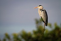 Grey Heron (Ardea cinerea) perched on pole. Albufera Natural Park. Valencian Community. Spain.