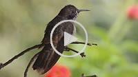Brown Violetear hummingbird in a perch taking off