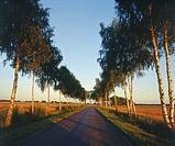 Poland. Podlasie region. Road with birches.