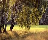 Poland. Birch grove