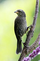 A Molothrus bonairensis cowbird perched in the forest in Venezuelam South America. It is an obligate brood parasite it lays its eggs in the nests of o...