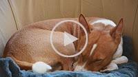 Lying Basenji dog
