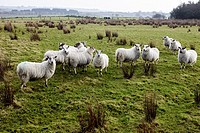 flock of sheep in a field ballymena, county antrim, northern ireland, uk.