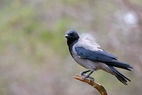 Hooded crow (Corvus cornix) perched in forest.