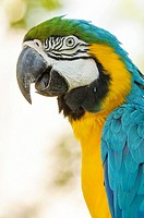 Blue-and-yellow macaw (Ara ararauna), also known as the blue-and-gold macaw, Yumka Park, Villahermosa, Tabasco, Mexico, America