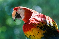 Scarlet macaw (Ara macao), large red, yellow, and blue South American parrot, Yumka Park, Villahermosa, Tabasco, Mexico, America