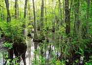 bald cypress in the great dismal swamp in south carolina in usa